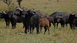 African buffalo (Syncerus caffer) herd with a young calf and yellow-billed oxpeckers (Buphagus africanus), Maasai Mara National Reserve, Kenya.  -  Neil Aldridge