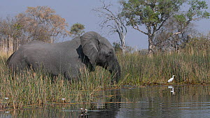 African elephant (Loxodonta africana) with a Cattle egret (Bubulcus ibis) on its back, shakes its head in a threat display as it stands in water feeding, Boro channel, Okavango Delta, Botswana.  -  Neil Aldridge