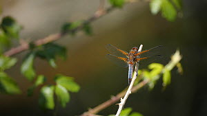 Male Broad-bodied chaser (Libellula depressa) flying from and returning to a perch, England.  -  Neil Aldridge