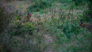 Two Caracals (Caracal caracal) emerging from thick bush at dusk, Kariega Game Reserve, Eastern Cape Province, South Africa.  -  Neil Aldridge