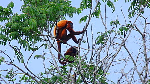 Guianan red howler monkeys (Alouatta macconnelli) feeding in a tree, Iwokrama Forest, Guyana.  -  Neil Aldridge