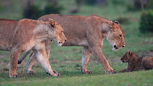 Two Lioness (Panthera leo) walking over to cub and play fighting with it, before walking away to survey surrounding area, Maasai Mara National Reserve, Kenya.  -  Neil Aldridge