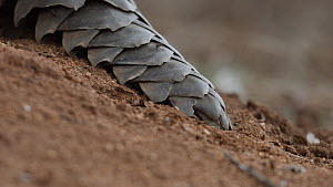 Close up of ants walking over the tail of a Temminck's pangolin (Smutsia temminckii), Hoedspruit, South Africa. This pangolin was rescued from the illegal wildlife trade, rehabilitated and returned to...  -  Neil Aldridge