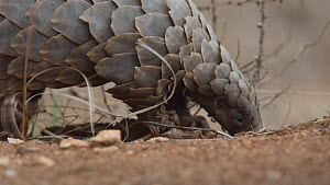Temminck's pangolin (Smutsia temminckii) digging and feeding on ants, Hoedspruit, South Africa. This pangolin was rescued from the illegal wildlife trade, rehabilitated and returned to the wild. .  -  Neil Aldridge