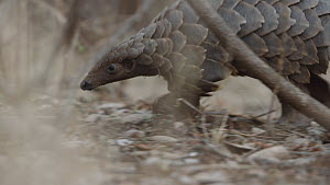 Temminck's pangolin (Smutsia temminckii) digging and feeding on ants, Hoedspruit, South Africa. This pangolin was rescued from the illegal wildlife trade, rehabilitated and returned to the wild.  -  Neil Aldridge