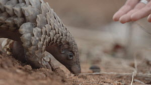Temminck's ground pangolin (Smutsia temminckii) is picked up by a veterinary nurse at the Rhino Revolution rehabilitation facility in Hoedspruit, South Africa. This young male pangolin was found after...  -  Neil Aldridge