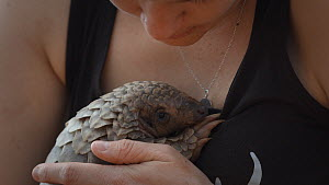 Temminck's ground pangolin (Smutsia temminckii) orphan is held and reassured by a veterinary nurse, Rhino Revolution facility, Hoedspruit, South Africa. This pangolin was found abandoned after its mot...  -  Neil Aldridge