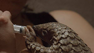 Temminck's ground pangolin (Smutsia temminckii) orphan is hand-fed with cat milk, Rhino Revolution facility, South Africa. This pangolin was found abandoned after its mother was taken by poachers.  -  Neil Aldridge