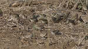 Red-billed quelea (Quelea quelea) flock feeding on the ground, Mapungubwe National Park, South Africa.  -  Neil Aldridge
