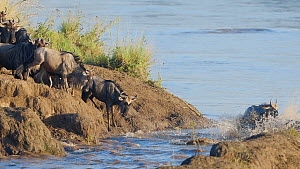Slow motion clip of Blue wildebeest (Connochaetes taurinus) herd leaping into the water to cross the Mara River during migration, Masai Mara Game Reserve, Kenya.  -  Neil Aldridge