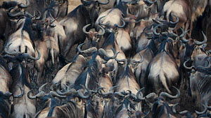 Slow motion clip of Blue wildebeest (Connochaetes taurinus) herd rushing up the bank of the Mara River, Maasai Mara National Reserve, Kenya.  -  Neil Aldridge