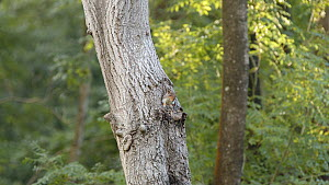 Grey squirrel (Sciurus carolinensis) emerging from a woodpeckers hole. Rushbeds Wood, Buckinghamshire, August.  -  Neil Challis