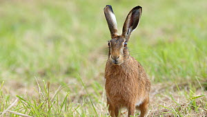 Brown hare (Lepus europaeus) moving across grass towards camera, Finemere Wood, Buckinghamshire, August.  -  Neil Challis