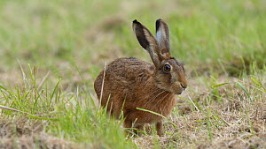 Brown hare (Lepus europaeus) sniffing grass, Finemere Wood, Buckinghamshire, August.  -  Neil Challis