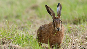 Brown hare (Lepus europaeus) eating grass before running out of frame, Finemere Wood, Buckinghamshire, August.  -  Neil Challis