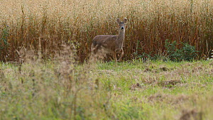 Chinese water deer (Hydropotes inermis) walking along a field margin, sniffing the ground and feeding, Finemere Wood, Buckinghamshire, August.  -  Neil Challis