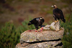 Spanish imperial eagle (Aquila adalberti), two on rock, one eating rabbit carcass put out at wildlife watching hide. Near El Barraco, Avila, Castile and Leon, Spain. December.  -  Staffan Widstrand