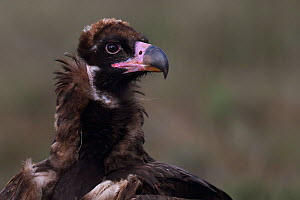 RF - Cinereous vulture (Aegypius monachus) juvenile, portrait. Calera y Chozas, Castile-La Mancha, Spain. December. (This image may be licensed either as rights managed or royalty free.)  -  Staffan Widstrand