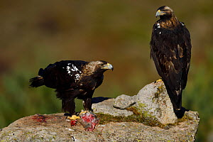 RF - Spanish imperial eagle (Aquila adalberti), two on rock, one eating rabbit carcass put out at wildlife watching hide. Near El Barraco, Avila, Castile and Leon, Spain. December. (This image may be...  -  Staffan Widstrand