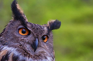 RF - European eagle owl (Bubo bubo) portrait. Vastmanland, Sweden. May. Captive. (This image may be licensed either as rights managed or royalty free.)  -  Staffan Widstrand