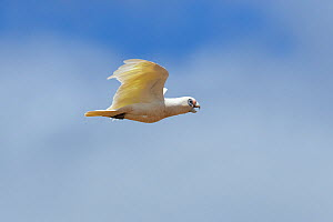 Little corella (Cacatua sanguinea) in flight with open beak. Kangaroo Island, South Australia.  -  Suzi Eszterhas