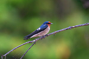 Pacific swift (Apus pacificus) perched on branch. Kinabatangan River, Sabah, Malaysia.  -  Suzi Eszterhas