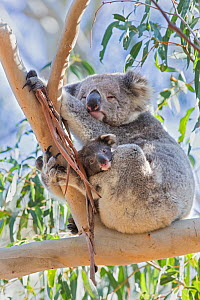 Koala (Phascolarctos cinereus) female and joey sitting in tree fork. Kangaroo Island, South Australia.  -  Suzi Eszterhas