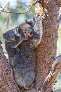 Koala (Phascolarctos cinereus) female and joey aged eleven months in tree fork. Kangaroo Island, South Australia.  -  Suzi Eszterhas