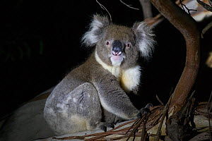 Koala (Phascolarctos cinereus) sitting in tree at night. Kangaroo Island, South Australia.  -  Suzi Eszterhas