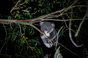 Koala (Phascolarctos cinereus) joey aged ten months foraging in tree at night. Kangaroo Island, South Australia.  -  Suzi Eszterhas