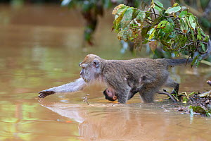 Long-tailed macaque (Macaca fascicularis) female with baby collecting fruit to eat from Kinabatangan River, Borneo, Malaysia.  -  Suzi Eszterhas