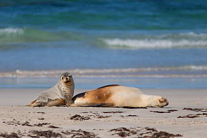 Australian sealion (Neophoca cinerea) female and pup on beach. Kangaroo Island, South Australia. October.  -  Suzi Eszterhas