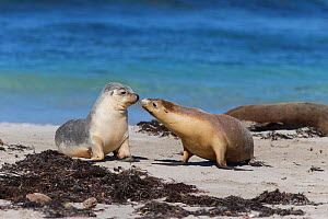 Australian sealion (Neophoca cinerea) pair interacting on beach. Kangaroo Island, South Australia. October.  -  Suzi Eszterhas
