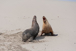 Australian sealion (Neophoca cinerea), two males sparring on beach. Kangaroo Island, South Australia. November.  -  Suzi Eszterhas