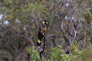 Yellow-tailed black cockatoo (Calyptorhynchus funereus) perched in tree. Kangaroo Island, South Australia.  -  Suzi Eszterhas