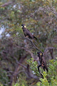 Yellow-tailed black cockatoo (Calyptorhynchus funereus), two perched in tree. Kangaroo Island, South Australia.  -  Suzi Eszterhas