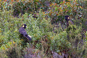 Yellow-tailed black cockatoo (Calyptorhynchus funereus), two perched in scrub. Kangaroo Island, Australia. .  -  Suzi Eszterhas