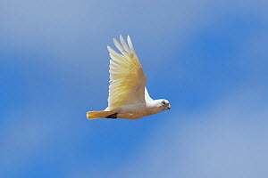 Little corella (Cacatua sanguinea) in flight. Kangaroo Island, South Australia.  -  Suzi Eszterhas