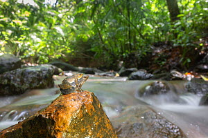 Kottigehar dancing frog (Micrixalus kottigeharensis) pair in amplexus on rock in forest stream, endemic species to Western Ghats, India. These tiny frogs measure 2-4 cm in length  -  Yashpal Rathore