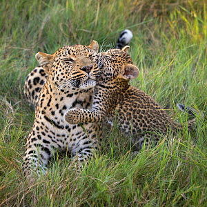 Leopard (Panthera pardus) cub age five weeks, jumping on mother, Jao Reserve, Okavango, Botswana  -  Suzi Eszterhas