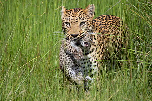 Leopard (Panthera pardus) mother carrying cub, age 10 days, Jao Reserve, Okavango, Botswana  -  Suzi Eszterhas