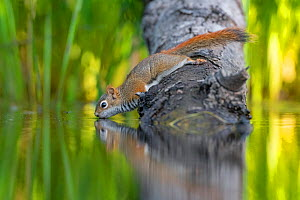 American Red squirrel (Tamiasciurus hudsonicus) on tree trunk drinking in a beaver pond. Acadia National Park, Maine, USA.  -  George Sanker
