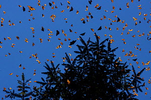Monarch butterflies (Danaus plexippus) flying during a warm morning. When the overwintering period draws to an end large numbers become active. Michoacan, Mexico, February.  -  Lucas Bustamante
