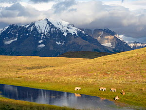 Puma (Puma concolor) family, mother with four cubs, drinking at pond with mountains of Torres del Paine National Park in background. Guanaco (prey species) can be seen in far distance on right hand si...  -  Mary McDonald