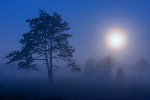 Scot's pine (Pinus sylvestris) tree in mist under full moon, at dawn. Klein Schietveld, Brasschaat, Belgium. September.  -  Bernard Castelein