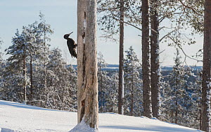 Black woodpecker (Dryocopus martius) male feeding on tree trunk in snow covered forest. Finland. February 2020.  -  Jussi Murtosaari