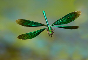Beautiful Demoiselle damselfly (Calopteryx virgo), male flying, Wales, UK. Small repro only.  -  Andy Rouse