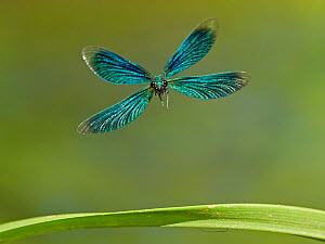 Beautiful Demoiselle damselfly (Calopteryx virgo), male flying, Wales, UK.  -  Andy Rouse