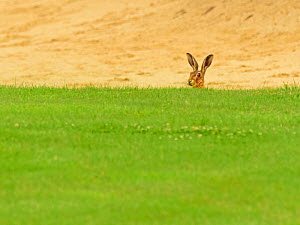 European hare, (Lepus europaeus), in golf course bunker, UK  -  Andy Rouse