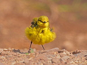 Yellow wagtail, (Motacilla flava), male shaking feathers, UK  -  Andy Rouse